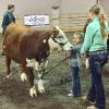 Khloe doing pre-peewee showmanship with a heifer we sold in our 2018 Sale.
